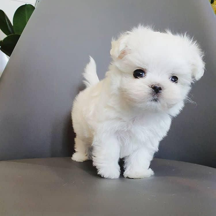 Adorable Puppies For Home Adorable Puppies Maltese Puppies For Sale Maltese Puppy Puppies For Sale