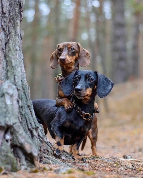 Cute Dachshunds #doglovers. #dachshundcentral #doglover #dachshund #sausagedog #doxie #weeniedog #dachshunds #sausagedogs #doxies #weeniedogs #dachshundaddict #dogsphotography