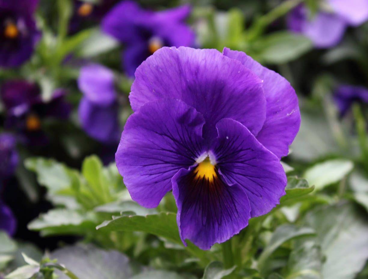 Purple Garden Pansy 40 Seeds Viola Wittrockiana Purple Blue With Blotch Annual Flowers Pansies Flowers Pansies