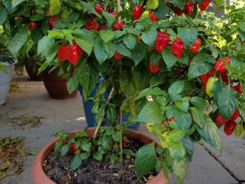 Best Fertilizer For Hot Peppers Pepper Plants Plants 400 x 300
