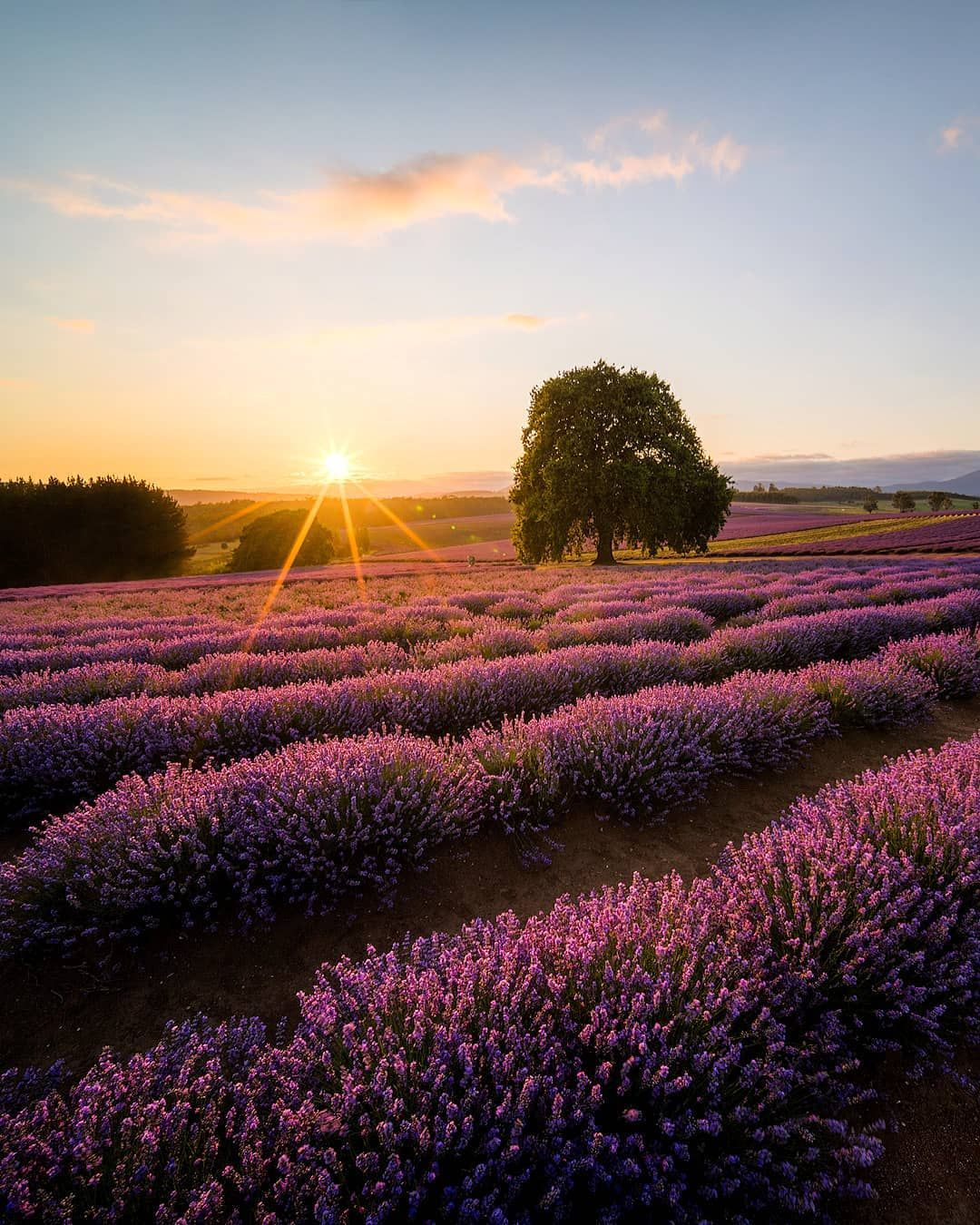 Sunrise At Bridestowe Lavender Farm The Best Smelling Farm You Ll Probably Ever Visit Beautyoft In 2020 Tasmania Road Trip Amazing Travel Destinations Nature Plants