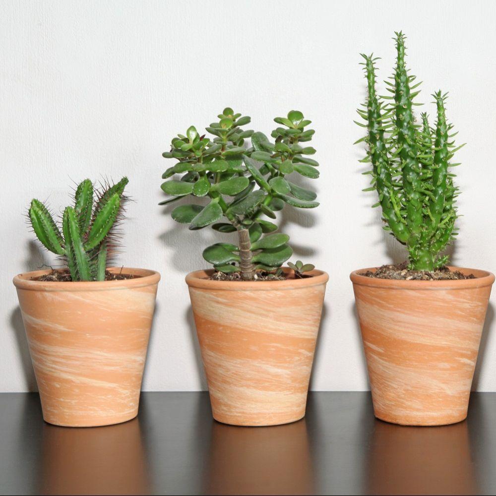Crassula Minor Plante Grasse Avec Images Crassula Plante