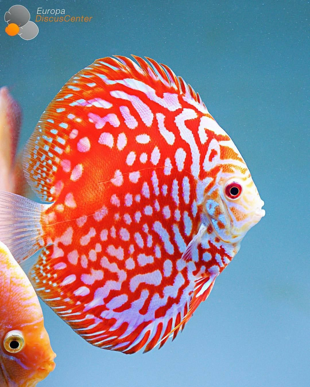 Checkerboard Red Map Discus ❤ ⠀ #discus #diskus #diskusfische ...
