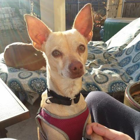 Dachshund dog for Adoption in Austin, TX. ADN770229 on