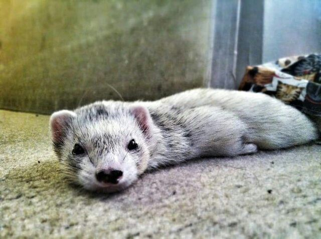 Ferrets from Reddit