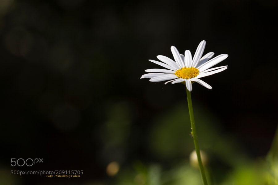 Solitaria - Margarita de Canarias (Argyranthemum frutescens)
