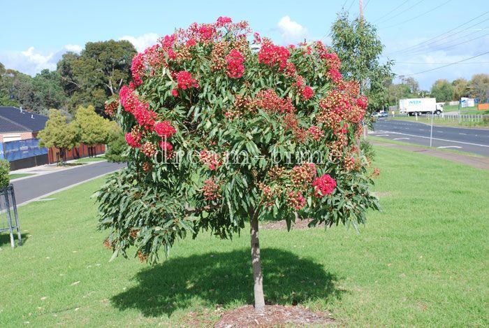 Eucalyptus Ficifolia Dwarf Australian Native Garden 400 x 300
