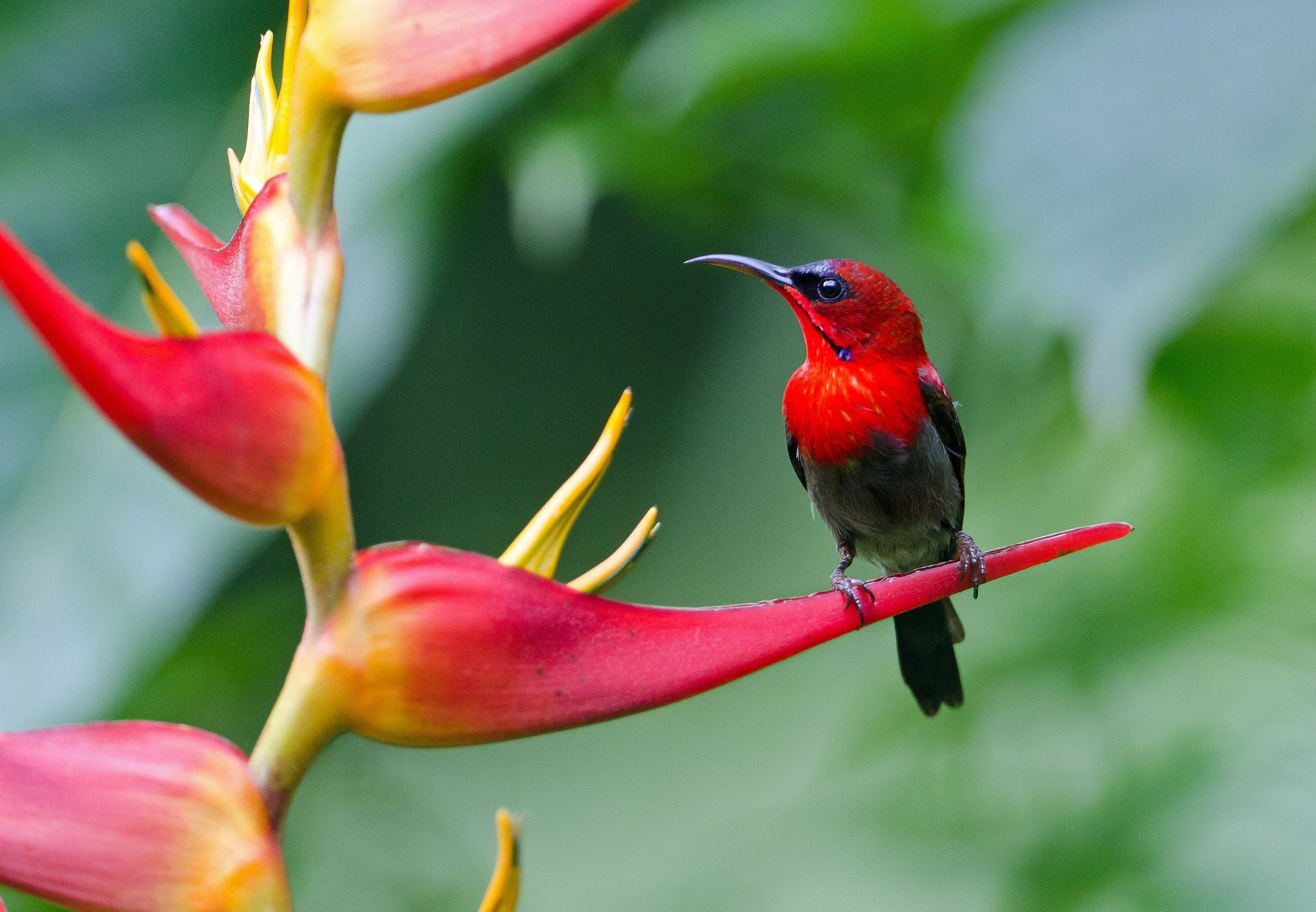 Red Bird Animal Red Flower wallpaper by parislane