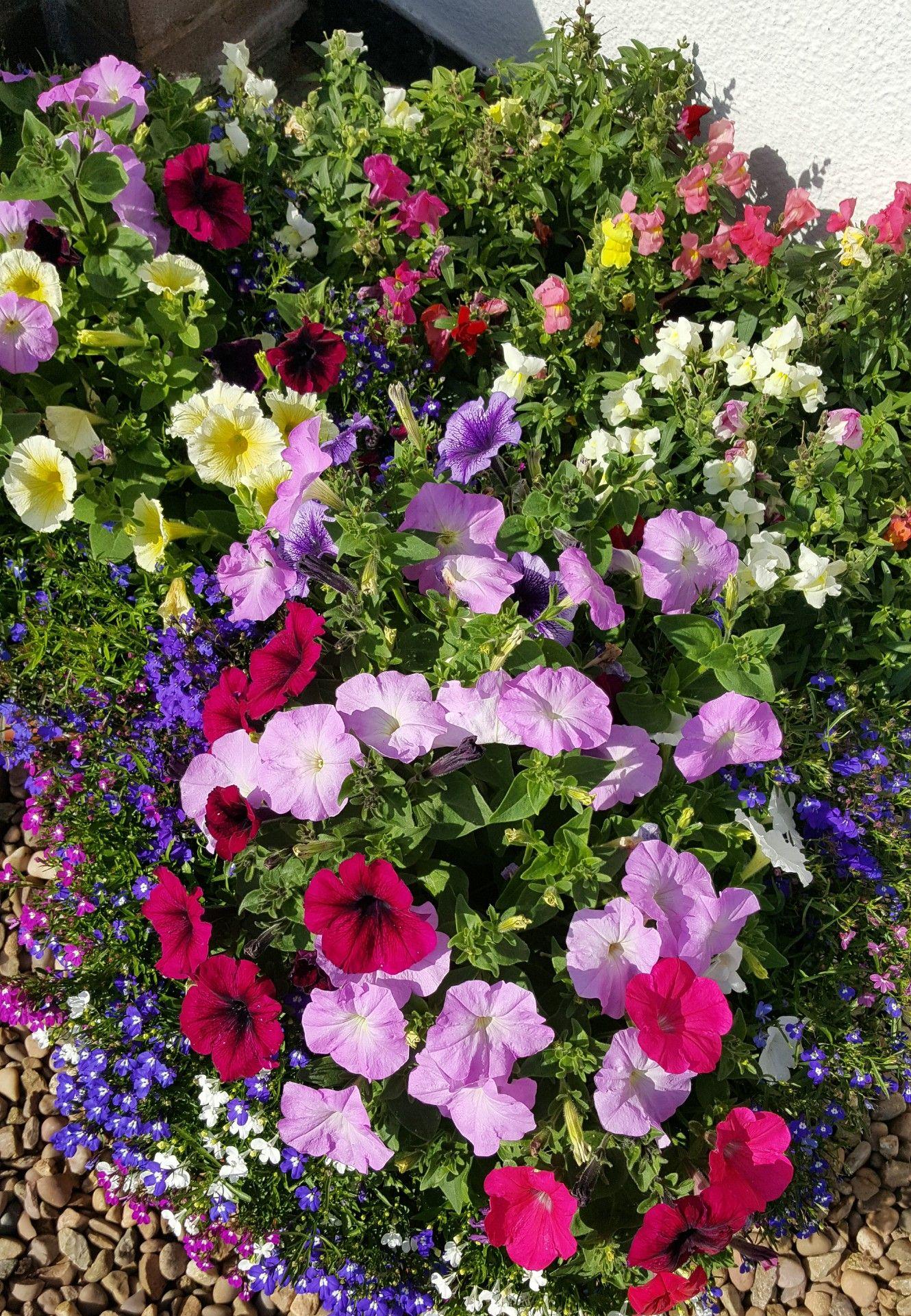 Bedding Plants Petunias Lobelia And Snap Dragons Backyard Ideas