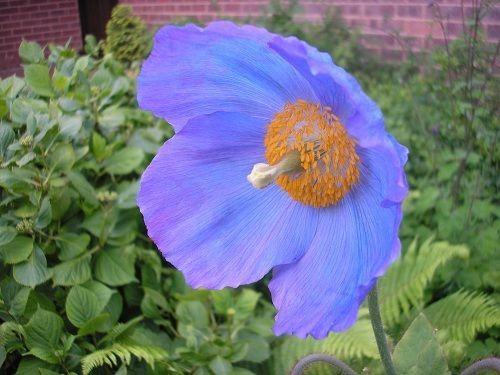 200 meconopsis grandis blue poppy seeds bulk seeds blue poppy 200 meconopsis grandis blue poppy seeds bulk seeds mightylinksfo