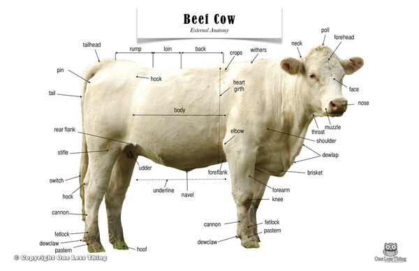 beef cow anatomy poster bovine cow parts of a cow. Black Bedroom Furniture Sets. Home Design Ideas