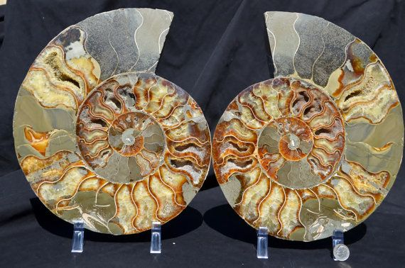 FREE USA Shipping Fossil Pair Ammonite Great by Paulstaberminerals, $569.99