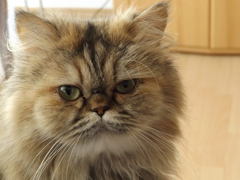 5 Things To Consider Before Buying A Persian Cat With Images Persian Cat Breeders Persian