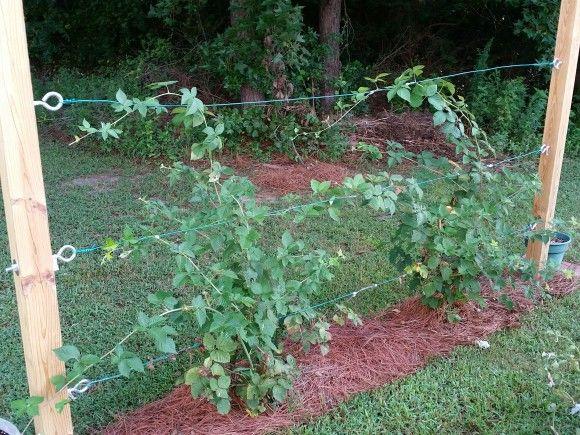 2015 Gardening Year In Review Blackberry Trellis Trellis