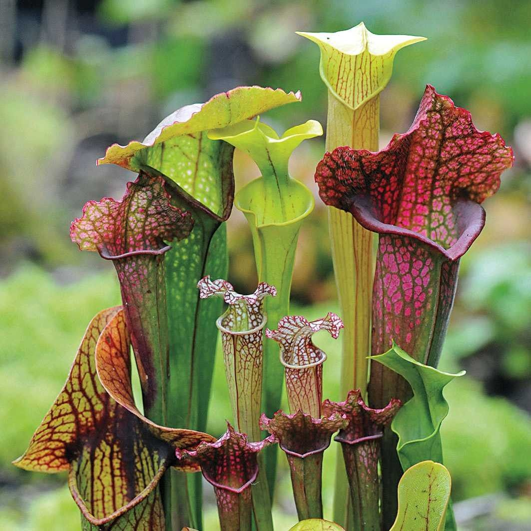 Pin by Marty Dean Smith on Carnivores Pitcher plant