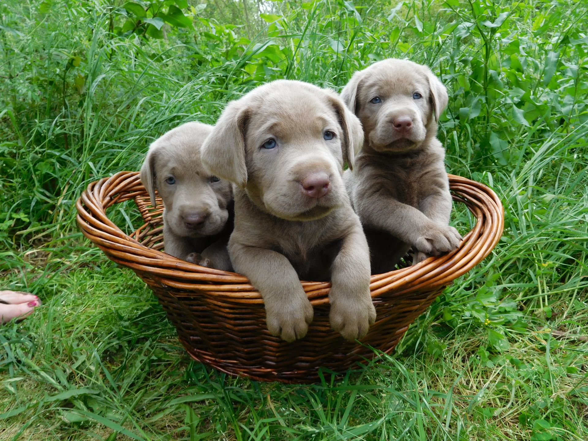 Silver Labrador Puppies for Sale, Our Lyrical Labs, Texas
