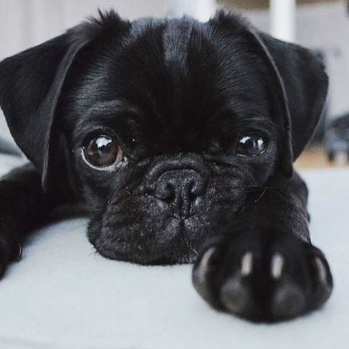 Pin By Sminion Gminion On Dogs Cute Pug Puppies Cute Dogs