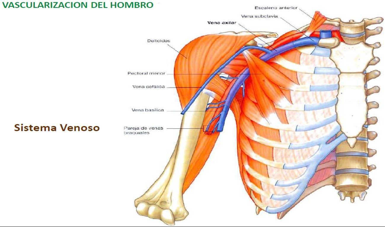 Magnífico Vena Cefálica Colección - Imágenes de Anatomía Humana ...