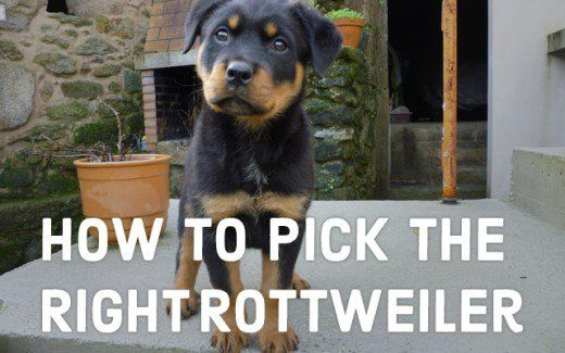 A Guide To Choosing Your Rottweiler Puppy Animal Related Dog