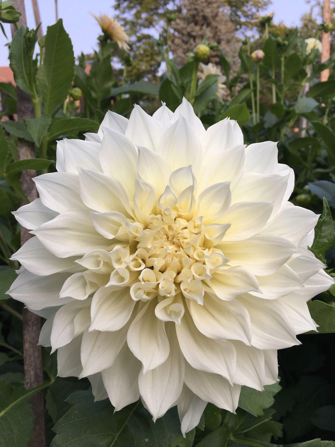 Dahlia Fleurel White Dinner Plate Dahlia I 3 Flowers
