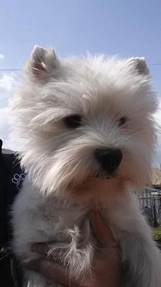 My Beautiful Boy Toby In Romania Westie Puppies West