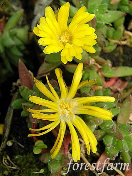Deloa Congestum Gold Nugget Hardy Ice Plant Flower From Forest Farms Farming Fl Decorative Potted Plants Ntfps