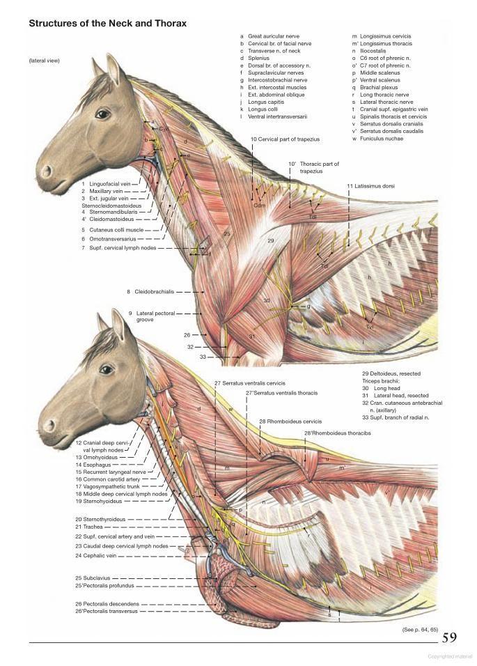 Anatomy of the Horse - Klaus Dieter Budras - Google Books | Horses ...