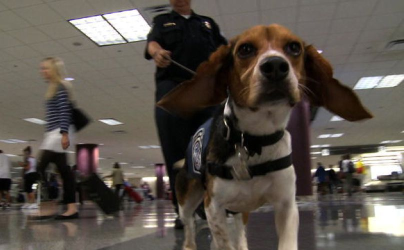 Elite Group Of Rescue Beagles Is Protecting The United States From