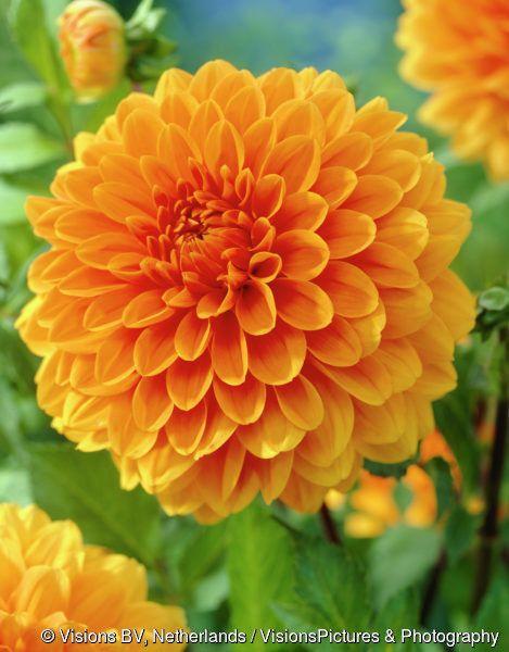 Renate Tozio Dahlia Beautiful Flowers Garden Beautiful Flowers Dahlia Flower