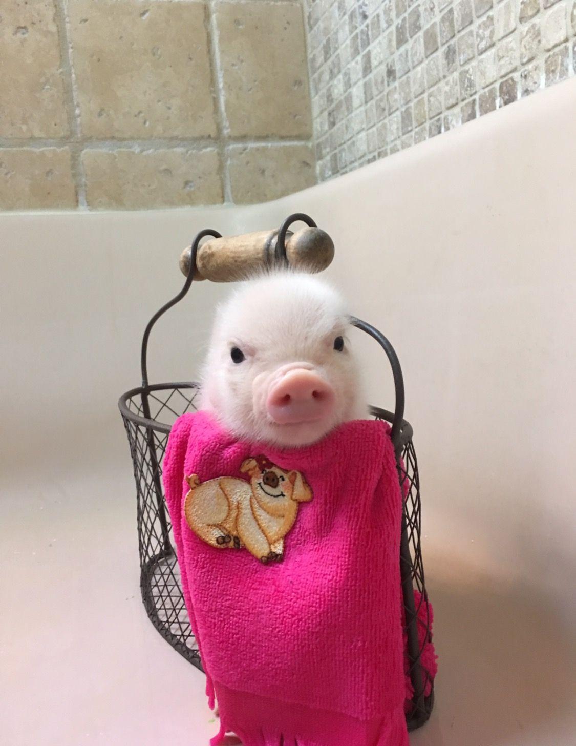 oink oink mini pigs piggy pics pinterest schweinchen schwein gehabt und minischwein. Black Bedroom Furniture Sets. Home Design Ideas