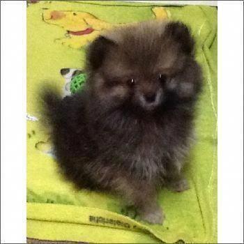 Pomeranian Teacup #cuteteacuppuppies All About Inquisitive Pomeranian Puppy Health #pomeraniannetwork #pomeranianwhite #pomeranianhaircut #teacuppomeranianpuppy