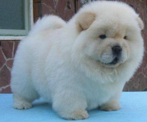 So Im Screetching Hes To Freggin Cute I Want Cuccioli Chow