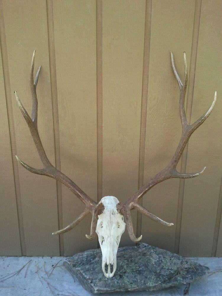 Awesome 300 Cl Montana Elk Rack Sheds Antlers Horns Home Decor
