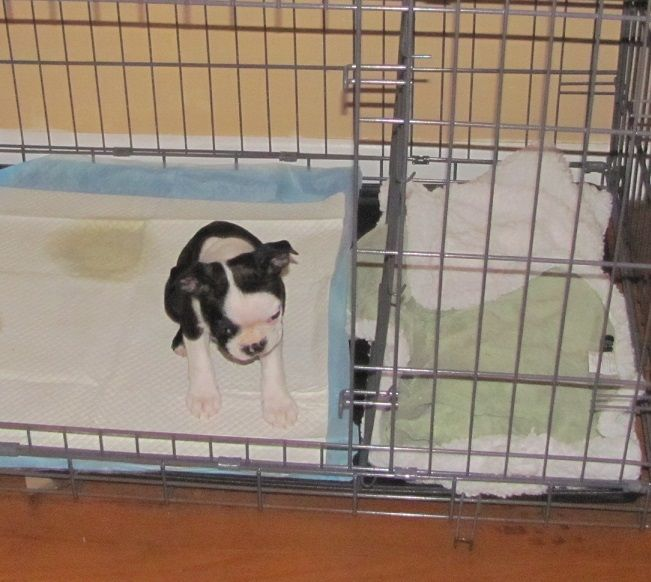 How To Potty Train A Boxer Pup With The Potty Training Puppy Apartment Dog Crate How To Potty Train A Boxer Puppy Boxer Ho Dogs Puppies Dogs Potty Training Puppy Apartment