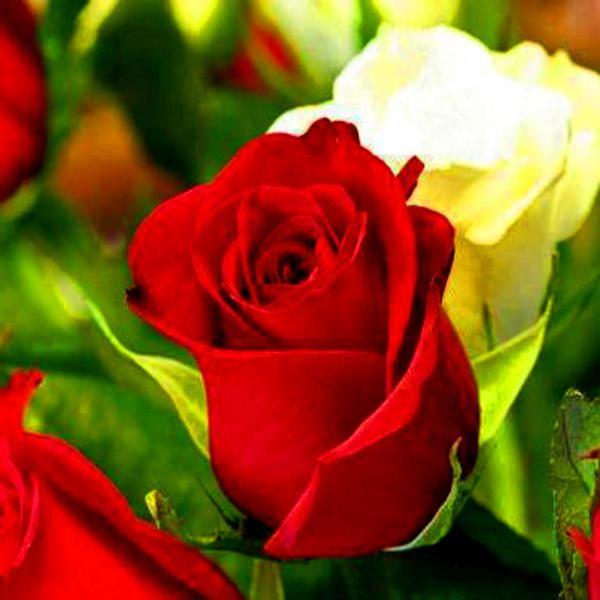 Fotos de flores blancas hermosas 600 600 rosa - Rosas rosas hermosas ...