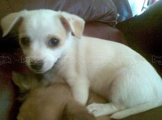 Chihuahua Jack Russell Mix Puppies For Sale Jack Russell Terrier