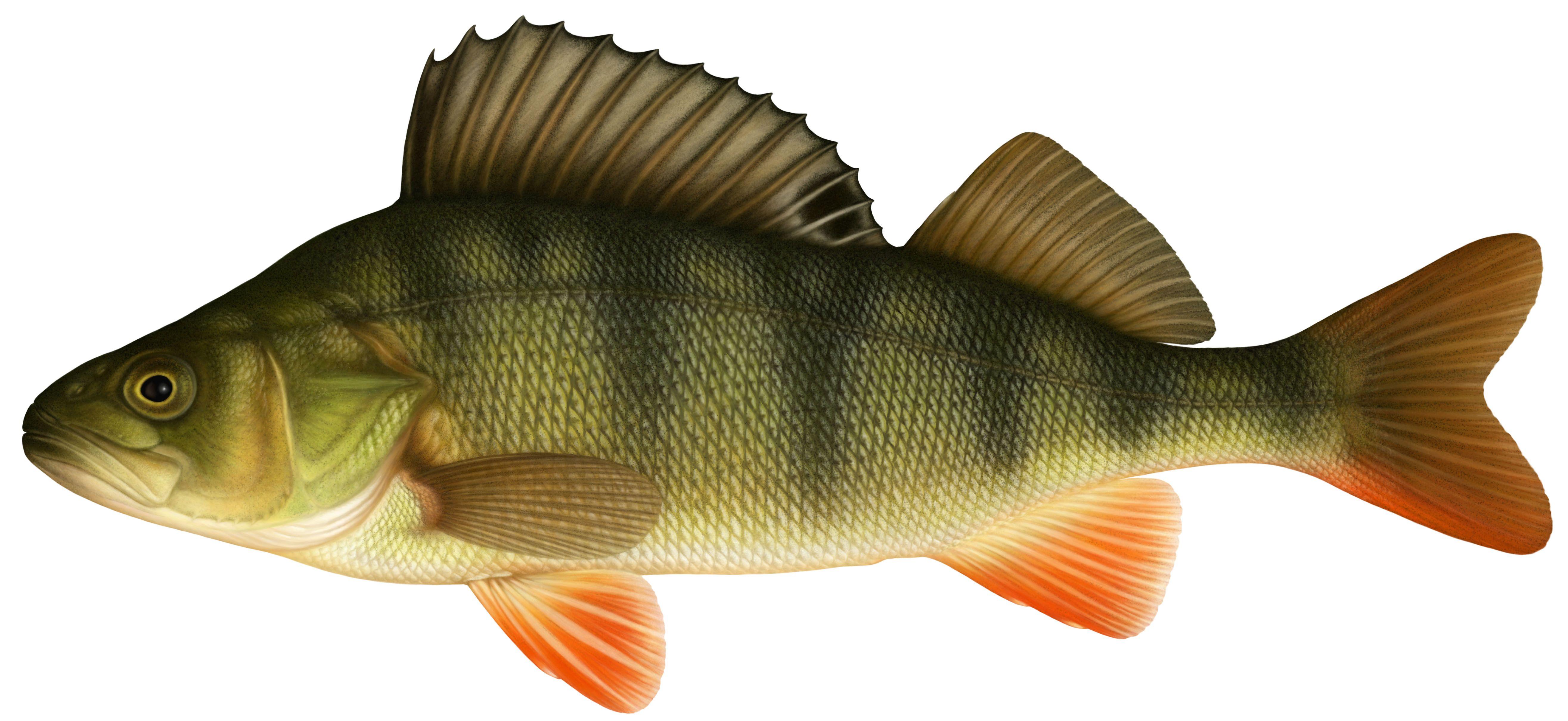 Картинка окуня рыбы