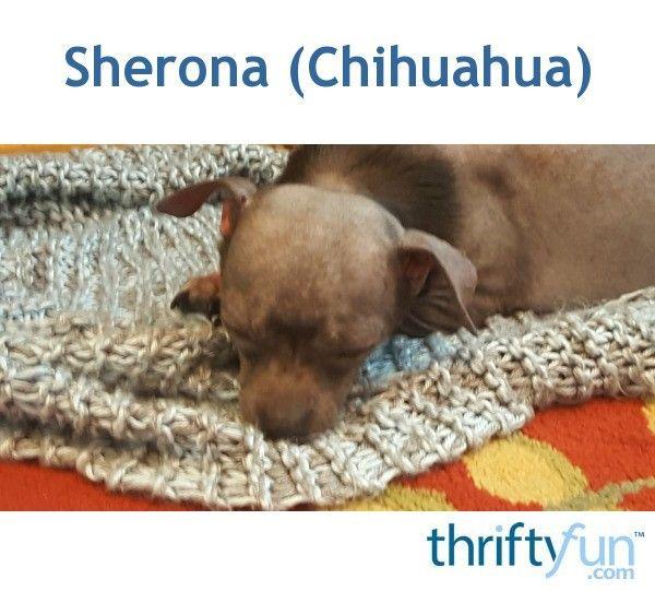 Sherona (Chihuahua) Cutest puppy ever, Chihuahua, Cute