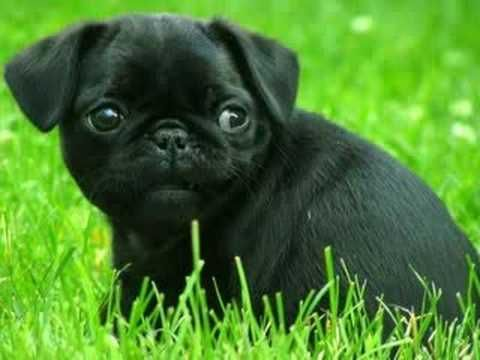 Adorable Black Pug Puppy More Pug Videos Https Www Youtube Com