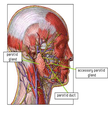 Anatomy of Parotid Gland | Cancer | Pinterest | Salivary gland ...