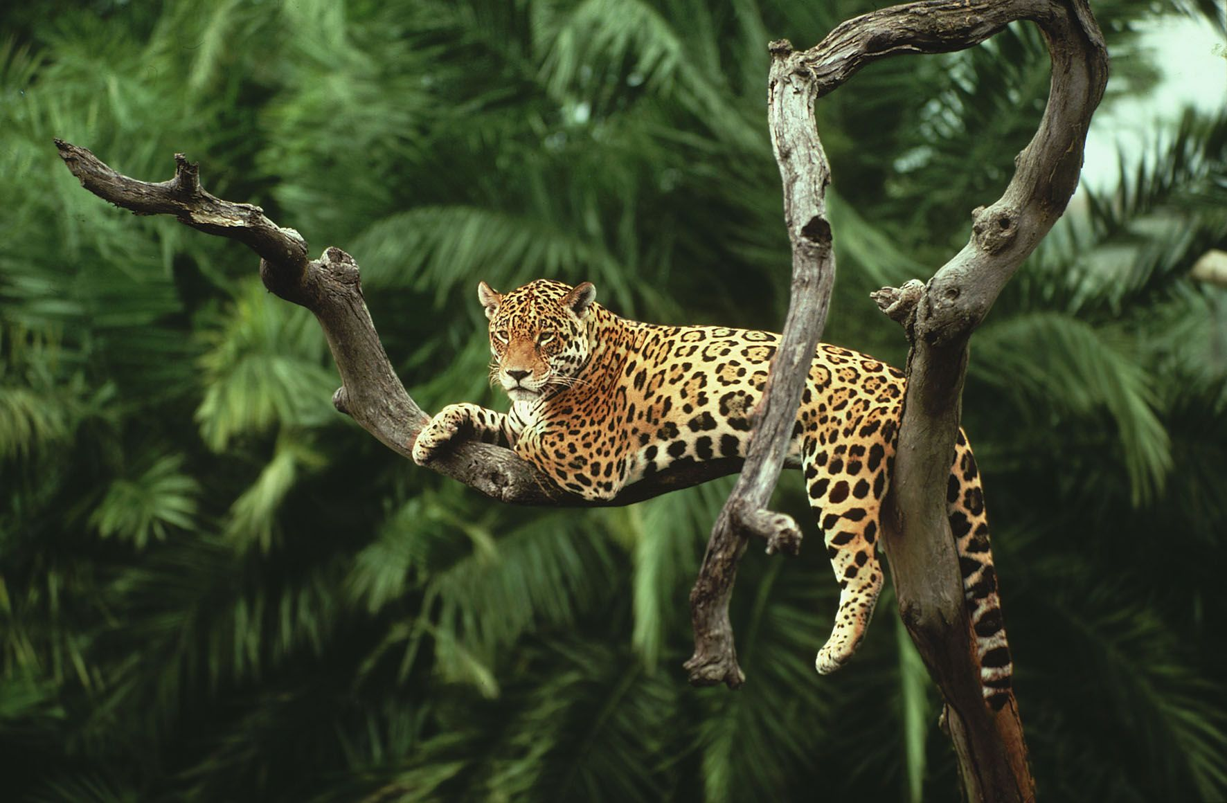 Amazon Rainforest Jaguar in the Amazon Dhrcom Blog