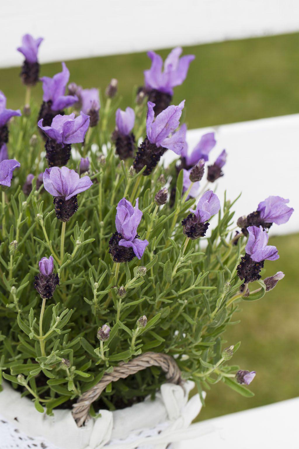 Lavendel butterfly eller sommerfugl lavendel: http://www.mestergronn.no/blogg/tid-lavendel/