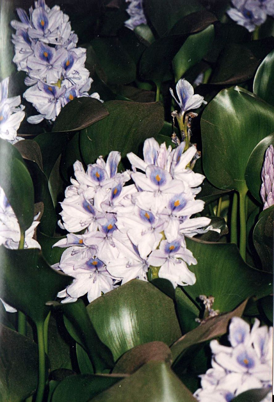 Nile Lily (Water Hyacinth)( Eichnornia crassipes ) Affirmation: I am a star shining in the galaxy. I flow through life, self-contained, grounding, connecting and manifesting Afirmación: Soy una estrella que brilla en la galaxia. Fluyo por la vida, completa, enraizada a la tierra, conectada y manifestando. Photo©Leslie Zehr 2001 www.EgyptianFlowerRemedies.com