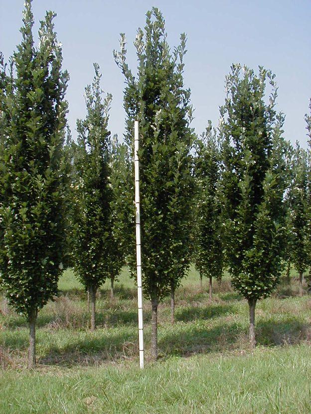 Regal Prince Oak Backyard Landscaping Tall Skinny Trees Front Yard Landscaping