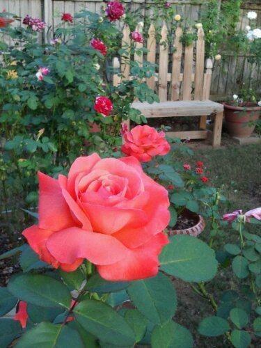 Friday In The Rose Garden Hybrid Tea Roses Hybrid Tea Roses Care Tea Roses