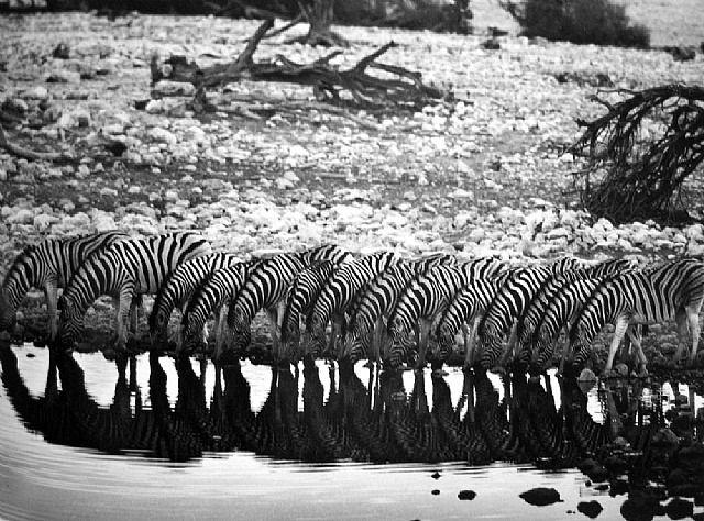 Sebastião Salgado, Mountain Zebra [they are confined to hilly country]