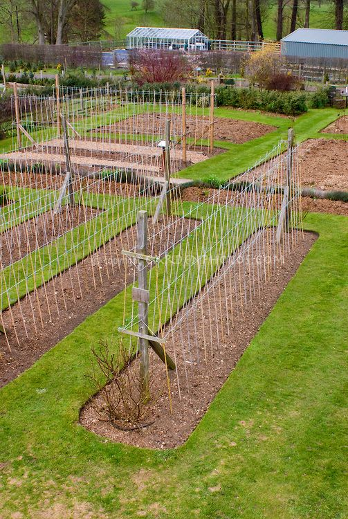 Sweet pea canes poles trellis and watering how to stake for Vegetable garden trellis designs