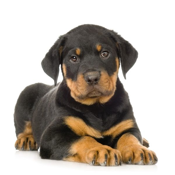 I Want Rotweiller Puppies So Bad Rottweiler Puppies Dog
