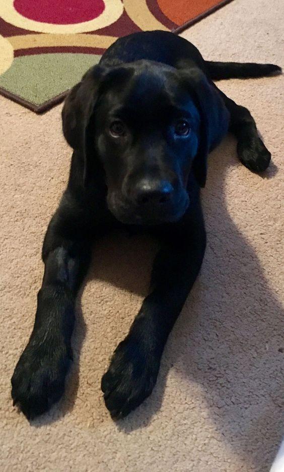Photo of Black Labrador 💖