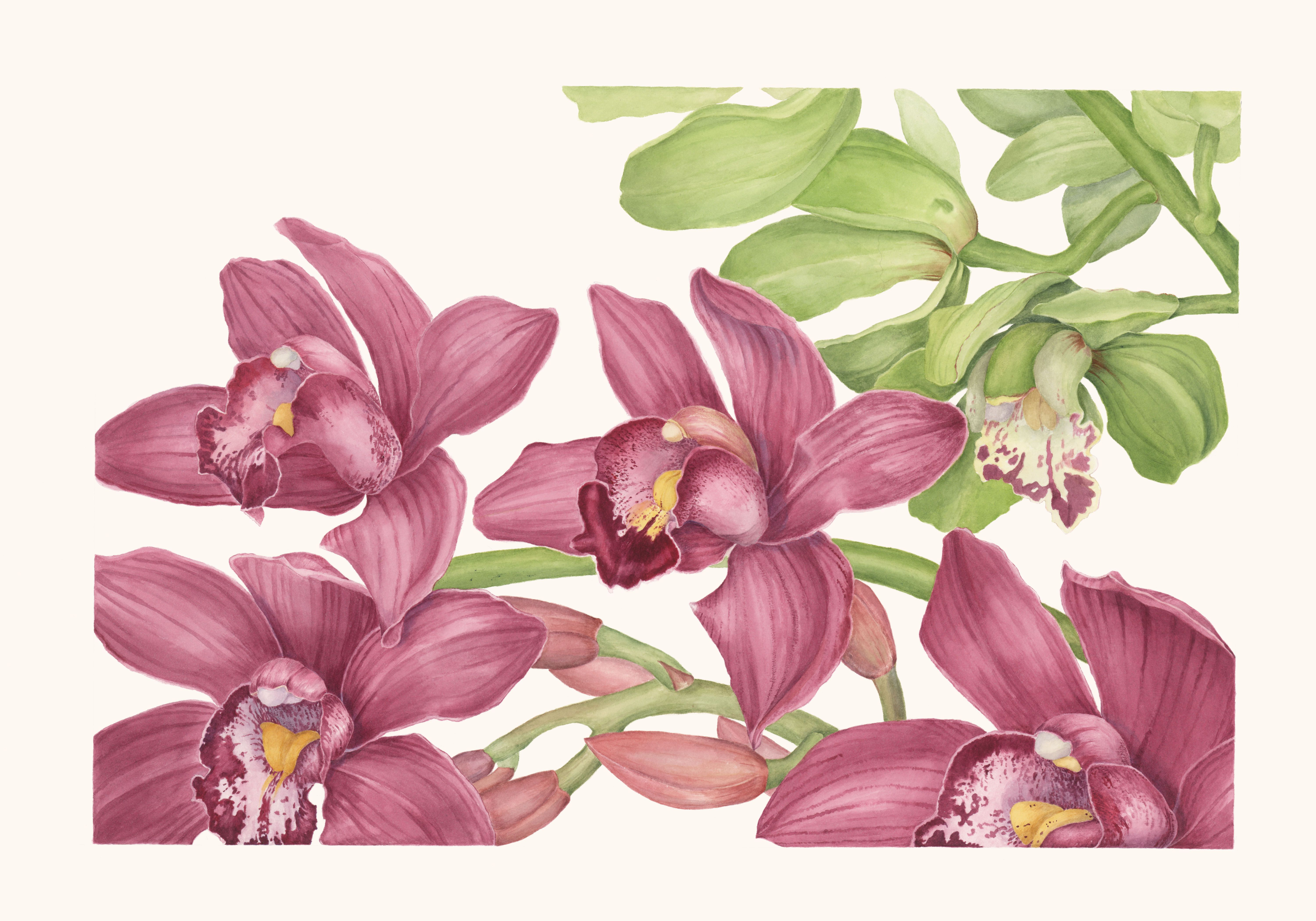 Cymbidium Orchids Watercolor By Sally Jacobs Botanical Art Botanical Prints Botanical Watercolor